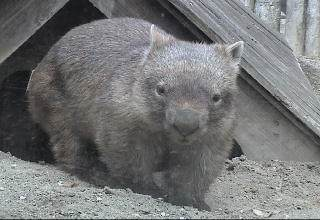 Common-wombat